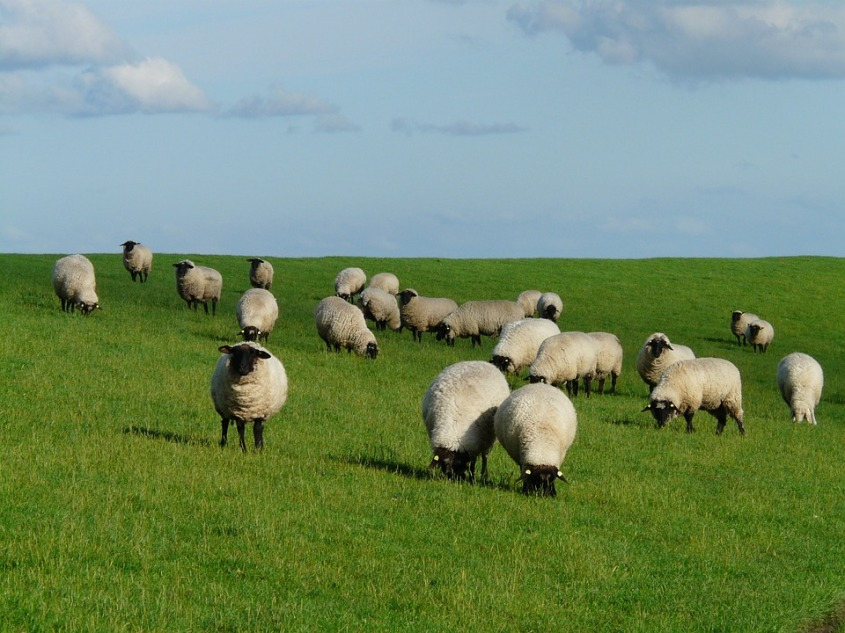 flock-of-sheep-57702_960_720